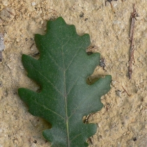 Photographie n°201333 du taxon Quercus pubescens Willd. [1805]