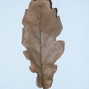 Photographie n°201335 du taxon Quercus pubescens Willd. [1805]