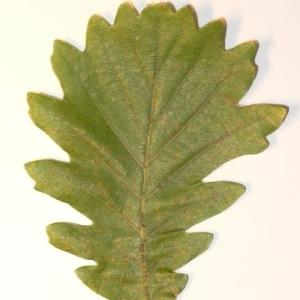 Photographie n°201337 du taxon Quercus pubescens Willd. [1805]