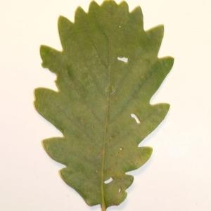 Photographie n°201338 du taxon Quercus pubescens Willd. [1805]