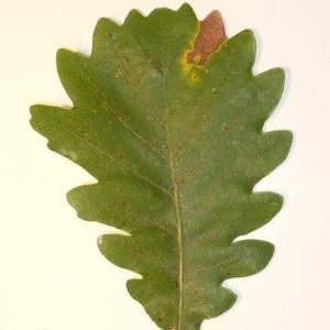 Photographie n°201340 du taxon Quercus pubescens Willd. [1805]