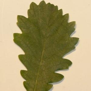 Photographie n°201341 du taxon Quercus pubescens Willd. [1805]