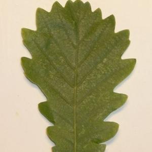 Photographie n°201342 du taxon Quercus pubescens Willd. [1805]