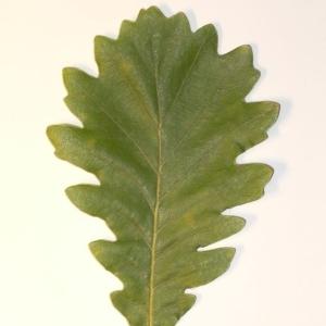 Photographie n°201344 du taxon Quercus pubescens Willd. [1805]