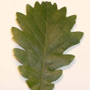 Photographie n°201345 du taxon Quercus pubescens Willd. [1805]