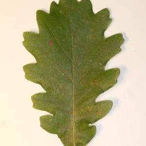 Photographie n°201347 du taxon Quercus pubescens Willd. [1805]