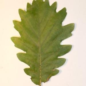 Photographie n°201348 du taxon Quercus pubescens Willd. [1805]