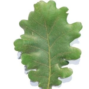 Photographie n°201349 du taxon Quercus pubescens Willd. [1805]