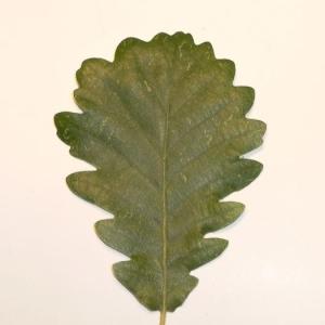 Photographie n°201350 du taxon Quercus pubescens Willd. [1805]