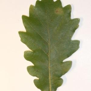 Photographie n°201353 du taxon Quercus pubescens Willd. [1805]