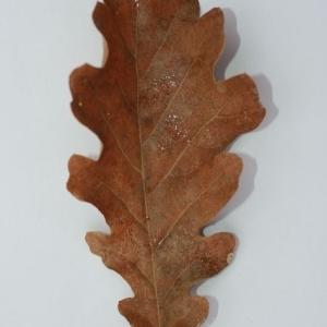 Photographie n°201355 du taxon Quercus pubescens Willd. [1805]