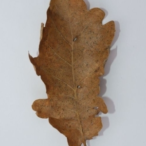Photographie n°201356 du taxon Quercus pubescens Willd. [1805]