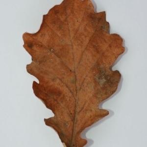 Photographie n°201357 du taxon Quercus pubescens Willd. [1805]