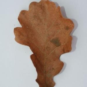 Photographie n°201360 du taxon Quercus pubescens Willd. [1805]