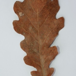 Photographie n°201361 du taxon Quercus pubescens Willd. [1805]