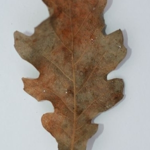 Photographie n°201363 du taxon Quercus pubescens Willd. [1805]