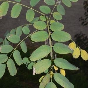 Photographie n°201423 du taxon Robinia pseudoacacia L.