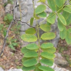 Photographie n°201431 du taxon Robinia pseudoacacia L.