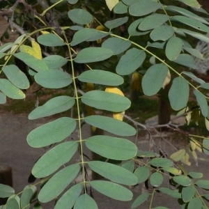 Photographie n°201442 du taxon Robinia pseudoacacia L.