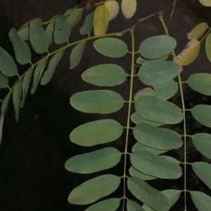 Photographie n°201443 du taxon Robinia pseudoacacia L.