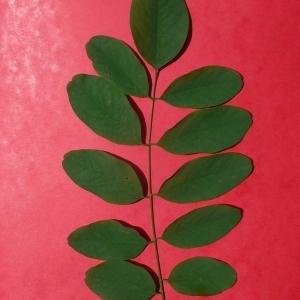 Photographie n°201448 du taxon Robinia pseudoacacia L.