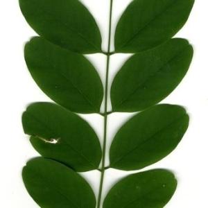 Photographie n°201450 du taxon Robinia pseudoacacia L.
