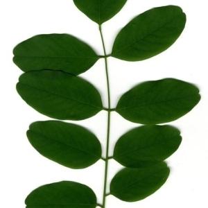 Photographie n°201452 du taxon Robinia pseudoacacia L.