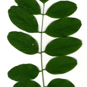 Photographie n°201453 du taxon Robinia pseudoacacia L.