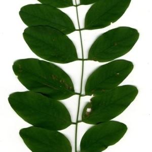 Photographie n°201454 du taxon Robinia pseudoacacia L.