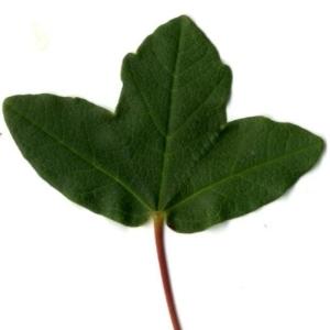 Photographie n°201725 du taxon Acer monspessulanum L. [1753]