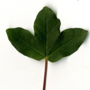 Photographie n°201726 du taxon Acer monspessulanum L. [1753]