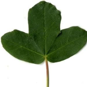 Photographie n°201727 du taxon Acer monspessulanum L. [1753]