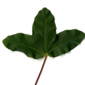 Photographie n°201728 du taxon Acer monspessulanum L. [1753]