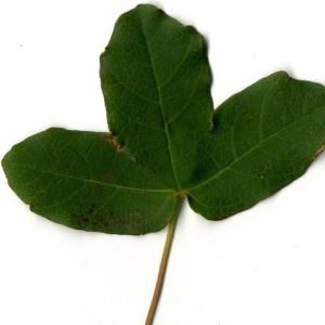Photographie n°201729 du taxon Acer monspessulanum L. [1753]