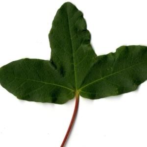 Photographie n°201730 du taxon Acer monspessulanum L. [1753]