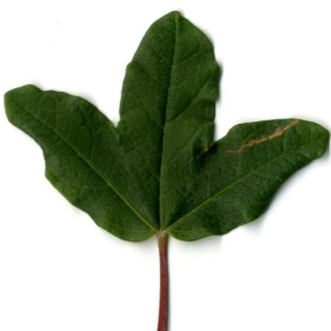 Photographie n°201731 du taxon Acer monspessulanum L. [1753]