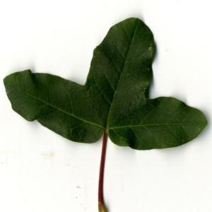 Photographie n°201734 du taxon Acer monspessulanum L. [1753]