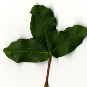 Photographie n°201736 du taxon Acer monspessulanum L. [1753]