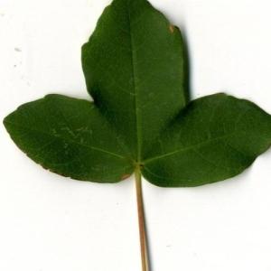 Photographie n°201737 du taxon Acer monspessulanum L. [1753]
