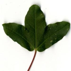 Photographie n°201738 du taxon Acer monspessulanum L. [1753]