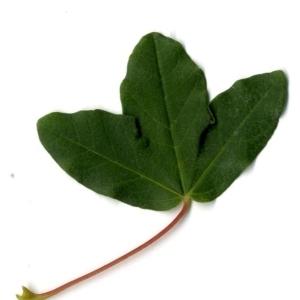 Photographie n°201739 du taxon Acer monspessulanum L. [1753]
