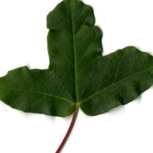 Photographie n°201740 du taxon Acer monspessulanum L. [1753]
