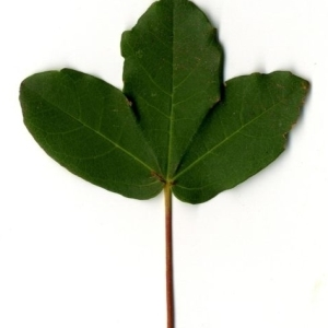 Photographie n°201742 du taxon Acer monspessulanum L. [1753]