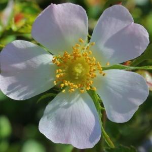 Rosa micrantha Borrer ex Sm. (Églantier à petites fleurs)