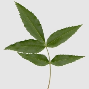- Fraxinus angustifolia Vahl