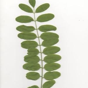 Photographie n°202017 du taxon Robinia pseudoacacia L.