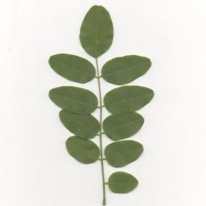 Photographie n°202018 du taxon Robinia pseudoacacia L.