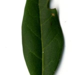 Photographie n°202125 du taxon Ligustrum vulgare L. [1753]