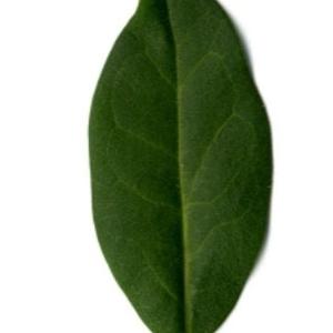 Photographie n°202126 du taxon Ligustrum vulgare L. [1753]
