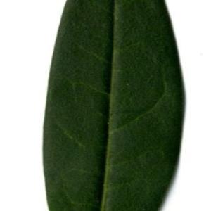 Photographie n°202127 du taxon Ligustrum vulgare L. [1753]